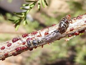 Thynnidae 5 male