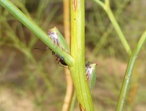 Sextius virescens