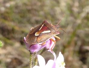 Arniscus humeralis