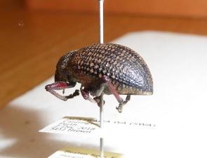 Catasarcus asphaltinus