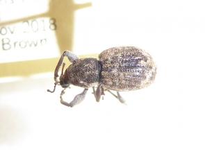 Asceparnus subfasciatus