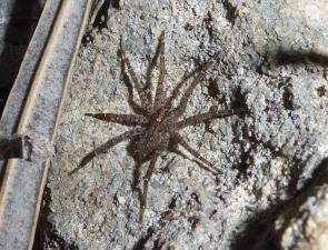 Argoctenus sp 2