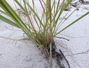 Eragrostis elongata