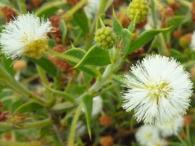 Acacia huegelii