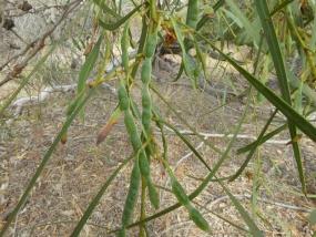 Acacia saligna seed pods