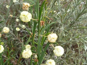 Acacia stenoptera
