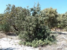 Adenanthos cygnorum ssp cygnorum