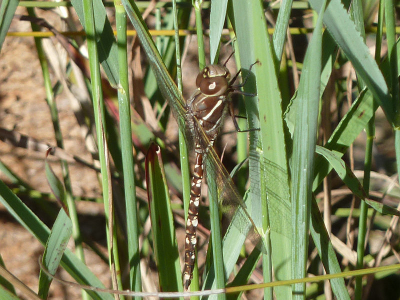 Adversaeschna brevistyla, Blue-spotted Hawker