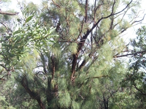 Allocasuarina fraseriana showing mature old growth