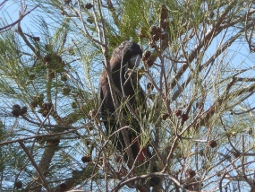 Allocasuarina fraseriana with red-tailed black cockatoo