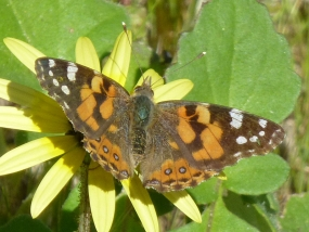 Vanessa kershawi feeding on Arctotheca calendula
