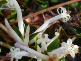 Styphelia tenuiflora