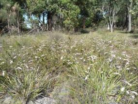 Babingtonia camphorosmae