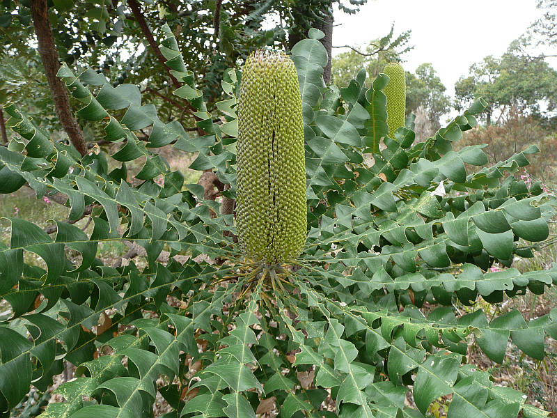 Banksia Grandis Friends Of Queens Park Bushland