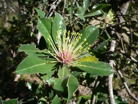 Banksia ilicifolia