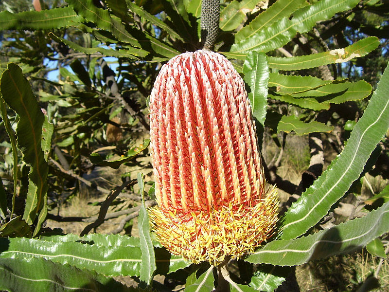 Red coloured flower of Banksia menziesii
