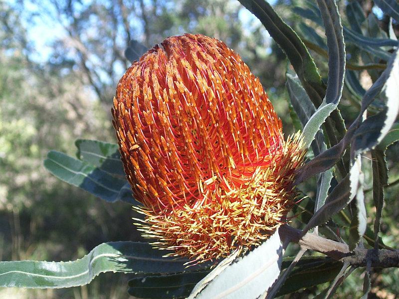 Bronze coloured flower of Banksia menziesii