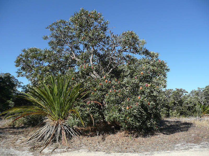Banksia menziesii usually grows as a small tree