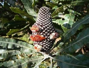 Fruiting cone of Banksia menziesii