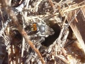 Megachile (Eutricharaea) chrysopyga