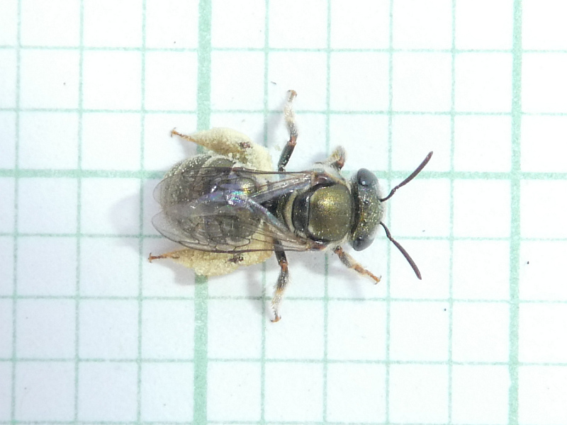 Lipotriches (Austronomia) flavoviridis