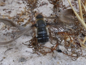 Bee fly 8