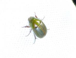 Phyllococerus purpurascens