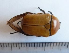 Aphanesthes succinea