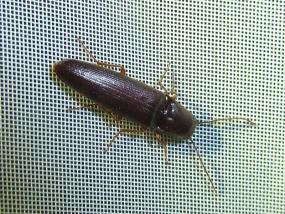 Beetle 20