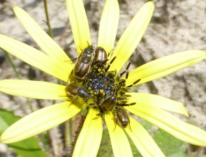 Neophyllotocus sp