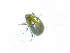 Beetle 26