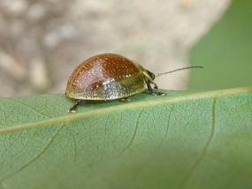 Paropsisterna variicollis
