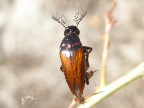 Macrosiagon sp.