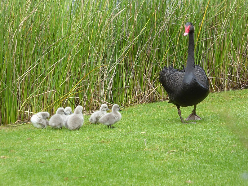 Black Swans with cygnets