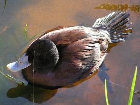 Blue-billed Duck