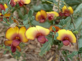 Bossiaea eriocarpa