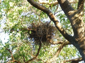 Nest of brown goshawk, Accipiter fasciatus