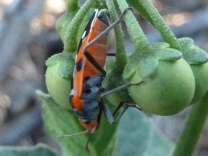 Melanerythrus mactans