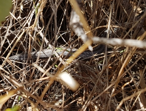 Burton's Legless Lizard g6