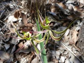 Caladenia falcata