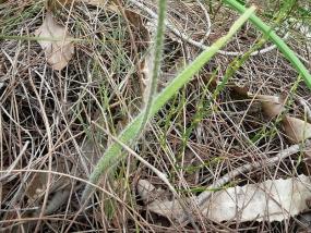 Caladenia paludosa