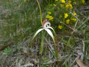 Caladenia splendens