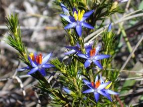 Calectasia narragara