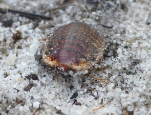 Calolampra marginalis female