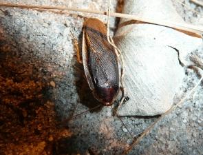 Calolampra sp