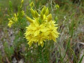 Calytrix flavescens