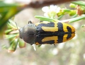 Castiarina anchoralis
