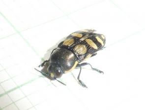 Castiarina subcincta