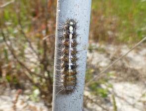 Caterpillar 11