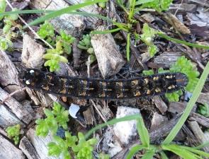Caterpillar 14
